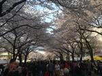 桜まつり1.jpg
