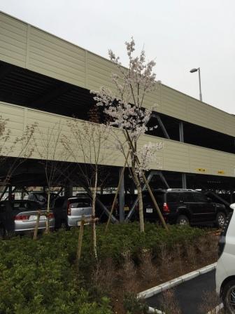 駐車場の桜圧縮.jpg